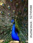 Beautiful Spread Of A Peacock.