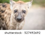 young spotted hyena in the... | Shutterstock . vector #527492692