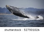 a humpback whale breaches clear ...   Shutterstock . vector #527501026