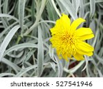 Tiny Bug On Yellow Flower  Gra...