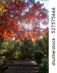 Small photo of Japanese maples, acer palmatum, turn color in Tokyo's Gotenyama Garden in Shinagawa.