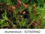 Chamaecyparis Lawsoniana  Know...