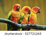 Beautiful Parrot  Sun Conure On ...
