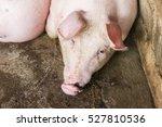 closeup pig face  pig lay down... | Shutterstock . vector #527810536