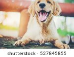 Stock photo golden retriever 527845855