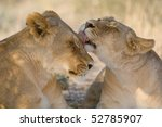 A lioness licking another lioness in the Kalahari - stock photo
