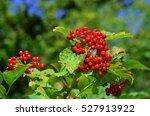 Cramp Bark  European Cranberry...