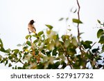 Small photo of African Red-eyed Bulbul sitting on top of a tree, Namibia