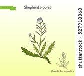 shepherd's purse  capsella...   Shutterstock .eps vector #527918368