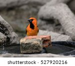 Small photo of Altamira Oriole (Icterus guleris) on water feature in Bentsen-Rio Grande Valley State Park in South Texas. This bird is native to Central and South America. Some range into far South Texas.