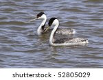 Small photo of Pair of Western Grebes (Aechmophorus occidentalis) swimming