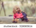 toy poodle playing in a park in ... | Shutterstock . vector #528085816