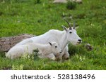 Two Mountain Goats Mother And...