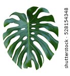 monstera large leaf tropical... | Shutterstock . vector #528154348