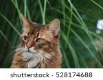 somali cat | Shutterstock . vector #528174688