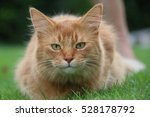 somali cat | Shutterstock . vector #528178792