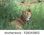 Lioness Resting In The...
