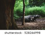 Two Buffalos Lie Down During A...