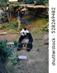 Small photo of O?ean Park, Hong Kong - February 8, 2016: The oldest giant Panda living in captivity at Ocean Park in Hong Kong.