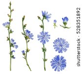 chicory flower  bud  leaf  head ... | Shutterstock . vector #528351892