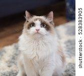Ragdoll Cat Portrait