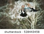 Small photo of Eurasian jay - Garrulus glandarius, two birds flying in the forest. Aerial combat two birds. Action scenes wildlife. Abstract. Winter country. Europe, countries Slovakia, the region of Upper Nitra.