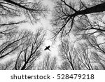 Small photo of High flying Pheasant Phasianus colchicus male in tree cover