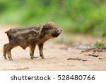 Cute Little Asian Pig On A...