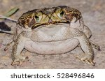 Small photo of Rhinella sp. frog
