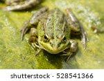 iberian green frog   pelophylax ... | Shutterstock . vector #528541366