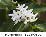 coffee tree blossom with white... | Shutterstock . vector #528597592