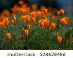 orange california poppies ... | Shutterstock . vector #528628486