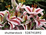 Striped Red And White Lilies I...