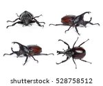 Male Rhinoceros Beetle ...