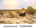 African Lion  Felis Leo  At...