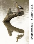 Small photo of Egyptian goose (Alopochen aegyptiaca), in the water, Kruger National Park, South Africa