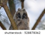 Long Eared Owl  Nestling