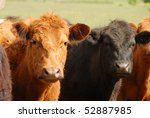 Angus Cross Steers On A Large...
