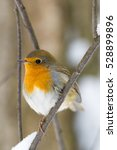 The Photo Shows A Robin On A...