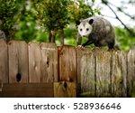 Common Opossum Walking On New...