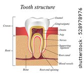 tooth structure  training... | Shutterstock .eps vector #528978976