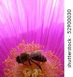 Honey Bee On Hottentot Fig