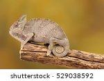 Yemen Chameleon Isolated On...