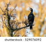 Cormorant  Phalacrocorax Carbo...