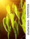 eucalyptus green leaves... | Shutterstock . vector #529095526