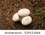 Small photo of COGUA, CUNDINAMARCA, COLOMBIA, DECEMBER 3RD: Lycoperdon perlatum, (gem-studded puffball, or the devil's snuff-box), fungus Agaricaceae in Neusa dam, Cogua Cundinamarca, Colombia on December 3th 2016.