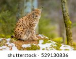 The Medium Sized Eurasian Lynx...