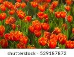 Close Up Of Bright Orange Tuli...