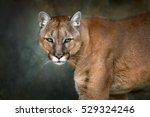 Mountain Lion   Cougar  Puma...