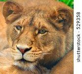 Lion Cub, portrait, staring into camera - stock photo